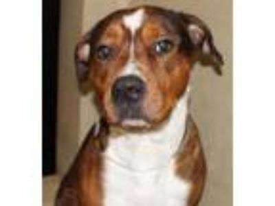 Adopt 29924 - Champ a Pit Bull Terrier / Mixed dog in Ellicott City