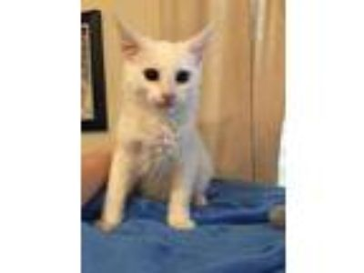 Adopt Cotton a Spotted Tabby/Leopard Spotted Domestic Mediumhair / Mixed cat in