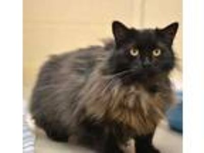 Adopt Mambo a All Black Domestic Longhair / Manx / Mixed cat in Redmond