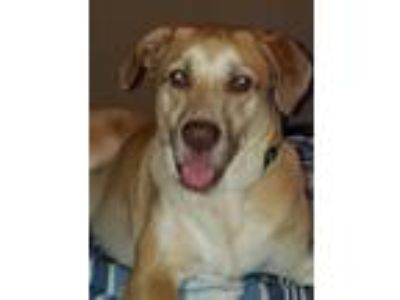 Adopt Titus a Tan/Yellow/Fawn - with White Labrador Retriever / German