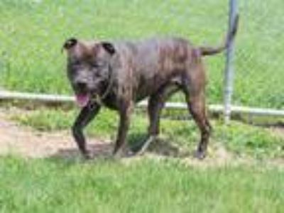 Adopt DOYLE a Pit Bull Terrier