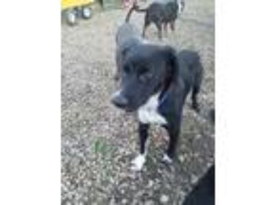 Adopt Koda a Black - with White Border Collie / Mixed dog in red oak