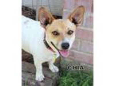Adopt Chia a Jack Russell Terrier