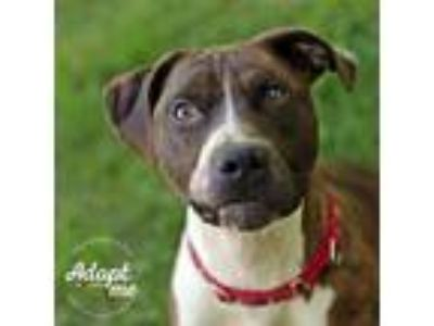 Adopt Diego a Brindle - with White Pit Bull Terrier / Mixed dog in Lyons