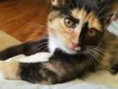 Adopt Beda a Domestic Short Hair, Tortoiseshell