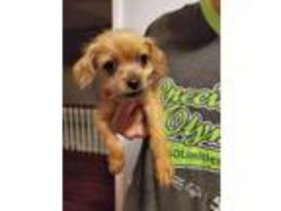 Adopt Nievelle a Tan/Yellow/Fawn Terrier (Unknown Type, Small) / Mixed dog in