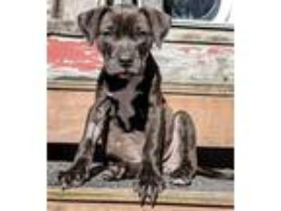 Adopt Vinny a Brown/Chocolate - with White Pit Bull Terrier / Labrador Retriever