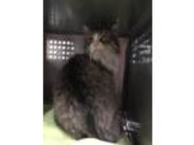 Adopt George (Carol) a Domestic Longhair / Mixed cat in Warsaw, IN (25288063)