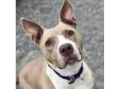 Adopt KARMA a White American Pit Bull Terrier / Mixed dog in Tacoma