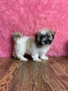 Lucy Female Shih-Chon Teddy Bear