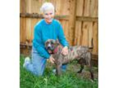Adopt awesome, amazing Dallas a Brindle - with White American Pit Bull Terrier /
