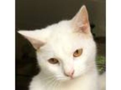 Adopt Qtip a White Domestic Shorthair / Mixed (short coat) cat in Mobile