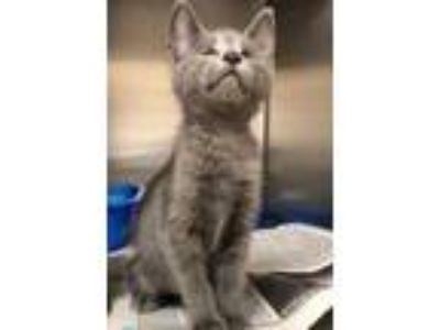 Adopt Rabbit a Gray or Blue Domestic Shorthair / Domestic Shorthair / Mixed cat