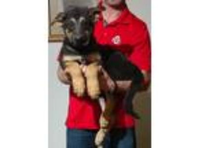 Adopt Hercules a Black - with Tan, Yellow or Fawn German Shepherd Dog / Mixed