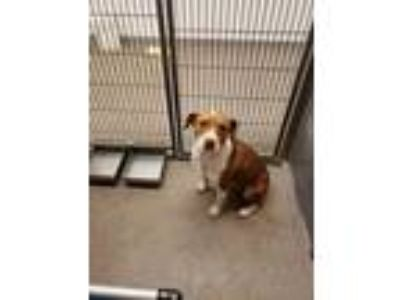 Adopt Panama a Brown/Chocolate Beagle / Hound (Unknown Type) / Mixed dog in