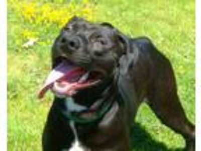 Adopt Chili a Black American Pit Bull Terrier / Mixed dog in Winchester