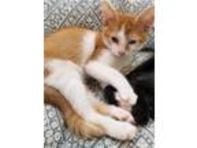 Adopt Xavier a Orange or Red (Mostly) Domestic Shorthair (short coat) cat in