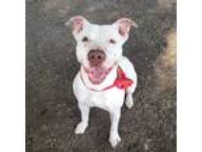 Adopt Puddles a White Pit Bull Terrier / Mixed Breed (Medium) / Mixed dog in