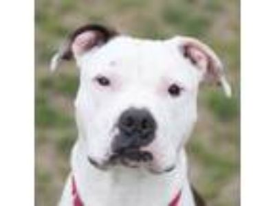 Adopt Quill a Pit Bull Terrier, Mixed Breed