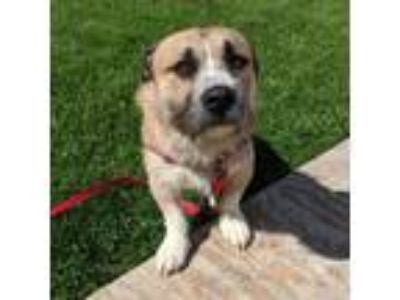 Adopt Vaughn a Tan/Yellow/Fawn Norfolk Terrier / Mixed dog in Janesville