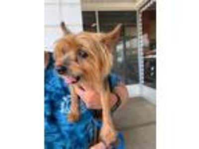 Adopt Toby a Yorkshire Terrier
