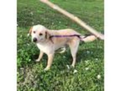 Adopt Teddy W a Tan/Yellow/Fawn - with White Labrador Retriever / Mixed dog in
