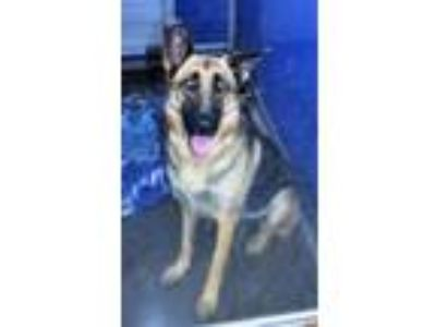 Adopt R231421 / a German Shepherd Dog