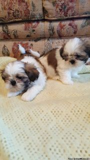 Nice baby face Adorable Teacup shih tzu Puppies For Adoption