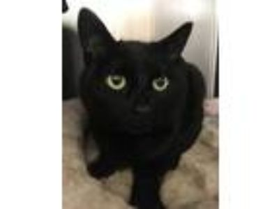 Adopt Zoe L a All Black Domestic Shorthair / Mixed cat in Trenton, NJ (25335596)