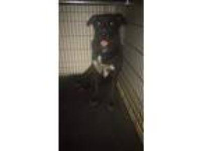 Adopt Rocko a Black Labrador Retriever dog in Fort Bragg, NC (25209019)