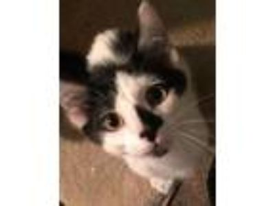 Adopt Kannon a Black & White or Tuxedo American Shorthair (short coat) cat in