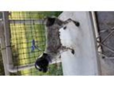 Adopt Little Rose a Black - with White Shih Tzu / Mixed dog in Bonifay