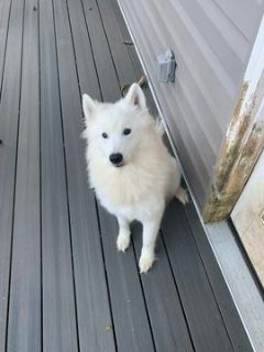 Samoyed PUPPY FOR SALE ADN-101522 - Looking to rehome my samoyed puppies