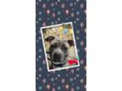 Adopt Satin a Pit Bull Terrier