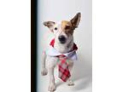 Adopt 19-514d FunnyBone a White Jack Russell Terrier / Mixed dog in Thibodaux