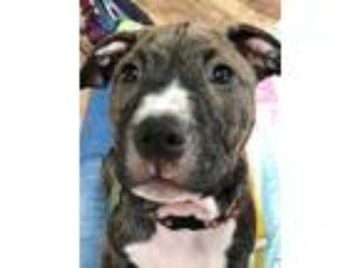 Adopt Blaze a Brindle Pit Bull Terrier / Mixed Breed (Medium) / Mixed dog in