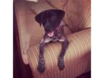 Adopt Scruff a Black - with White German Shorthaired Pointer / Retriever