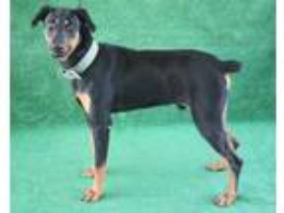 Adopt *GOOSE a Black - with Brown, Red, Golden, Orange or Chestnut Doberman