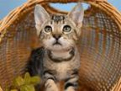 Adopt Brison a Domestic Short Hair