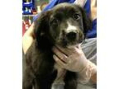 Adopt Misty a Black Border Collie / Mixed dog in Greenville, SC (25657585)