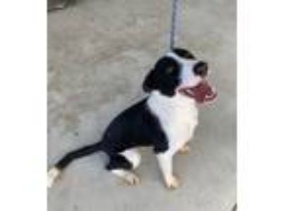 Adopt Dixie a Border Collie, McNab