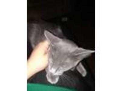 Adopt Emoto a Gray or Blue Domestic Mediumhair / Mixed cat in Phoenix