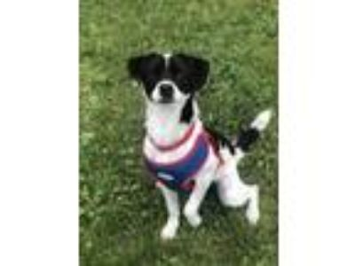 Adopt Tip a Black Beagle / Terrier (Unknown Type, Small) / Mixed dog in Hudson