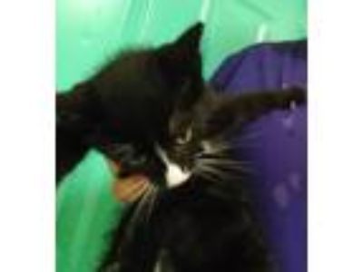 Adopt Panther a American Shorthair