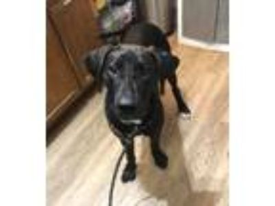 Adopt Big Joe a Great Dane / Hound (Unknown Type) / Mixed dog in Cleveland