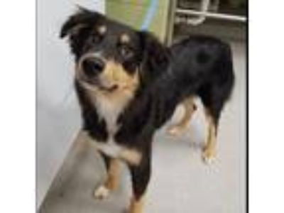 Adopt Pupper a Australian Shepherd / Border Collie / Mixed dog in Indianapolis