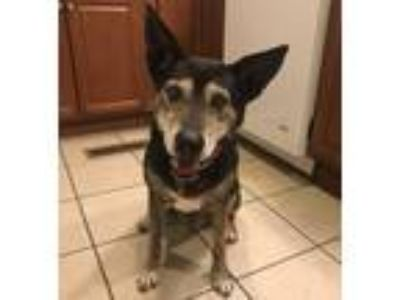 Adopt Heidi a Terrier (Unknown Type, Small) / Shepherd (Unknown Type) / Mixed