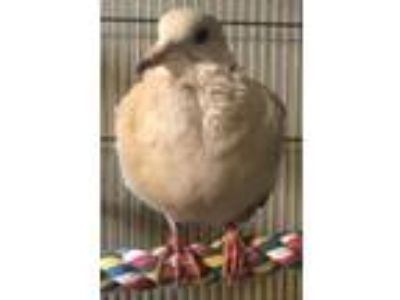 Adopt Luna a Dove bird in Stratford, CT (20170690)