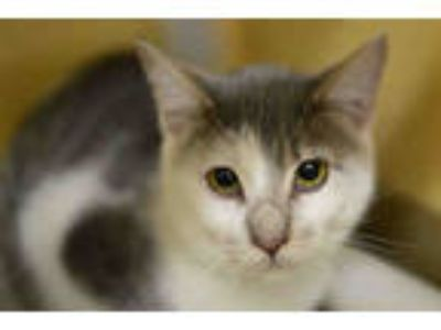 Adopt OREGANO a Gray or Blue (Mostly) Domestic Shorthair / Mixed (short coat)