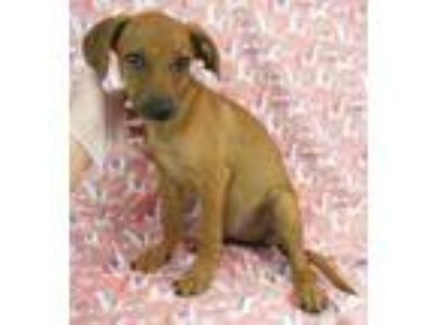 Adopt Lacy a Red/Golden/Orange/Chestnut Whippet / Mixed dog in Morton Grove